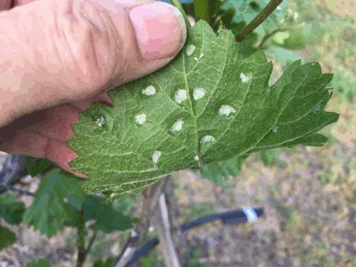 Blattgallmilbe Blattunterseite