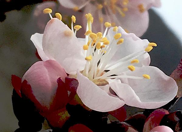marillenblüte am 14. März 2014 in der wachau