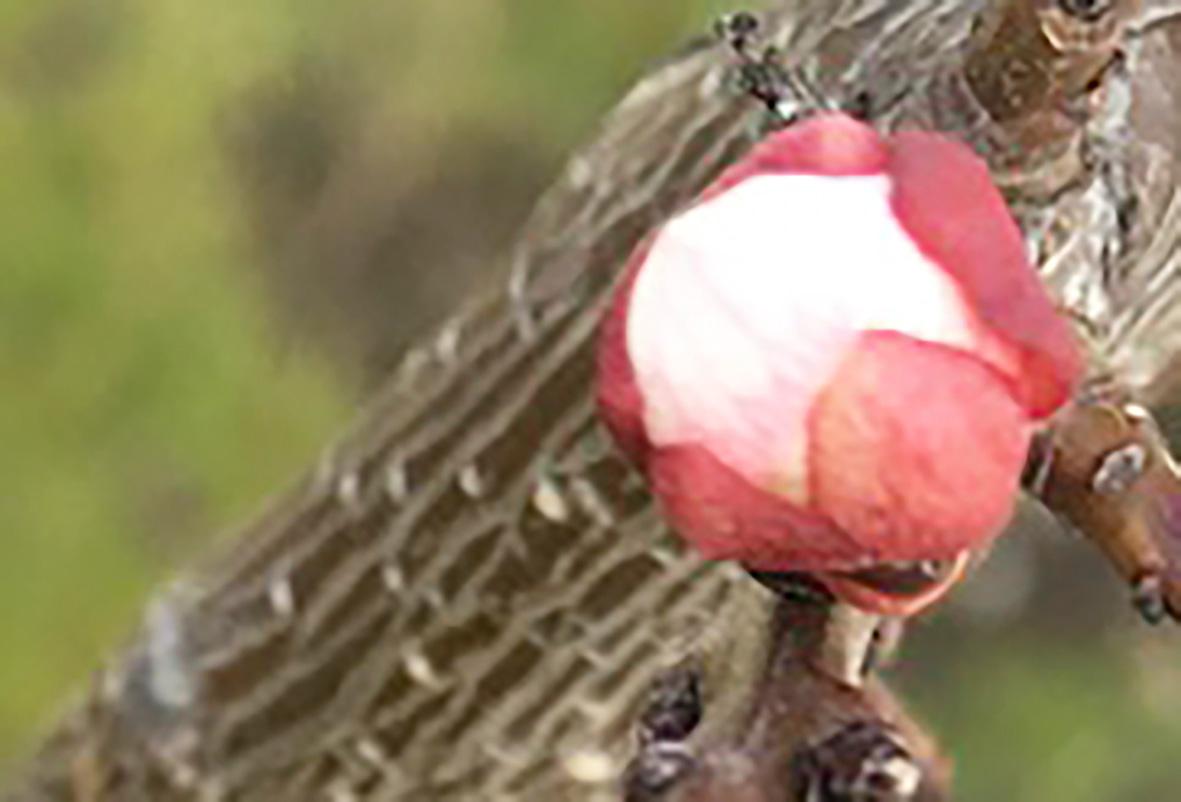 beginn der marillenblüte in der wachau 2019