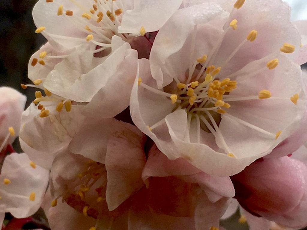 Von St. Johann im Mauerthaleaus blicken wirim Frühjahr über ein Blütenmeer