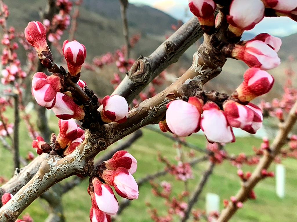 Meruňkový květ začíná ve Wachau v březnu 2020