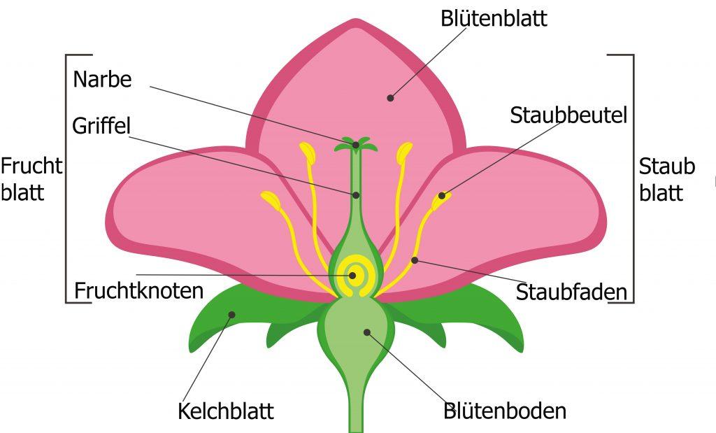 schema einer Marillenblüte
