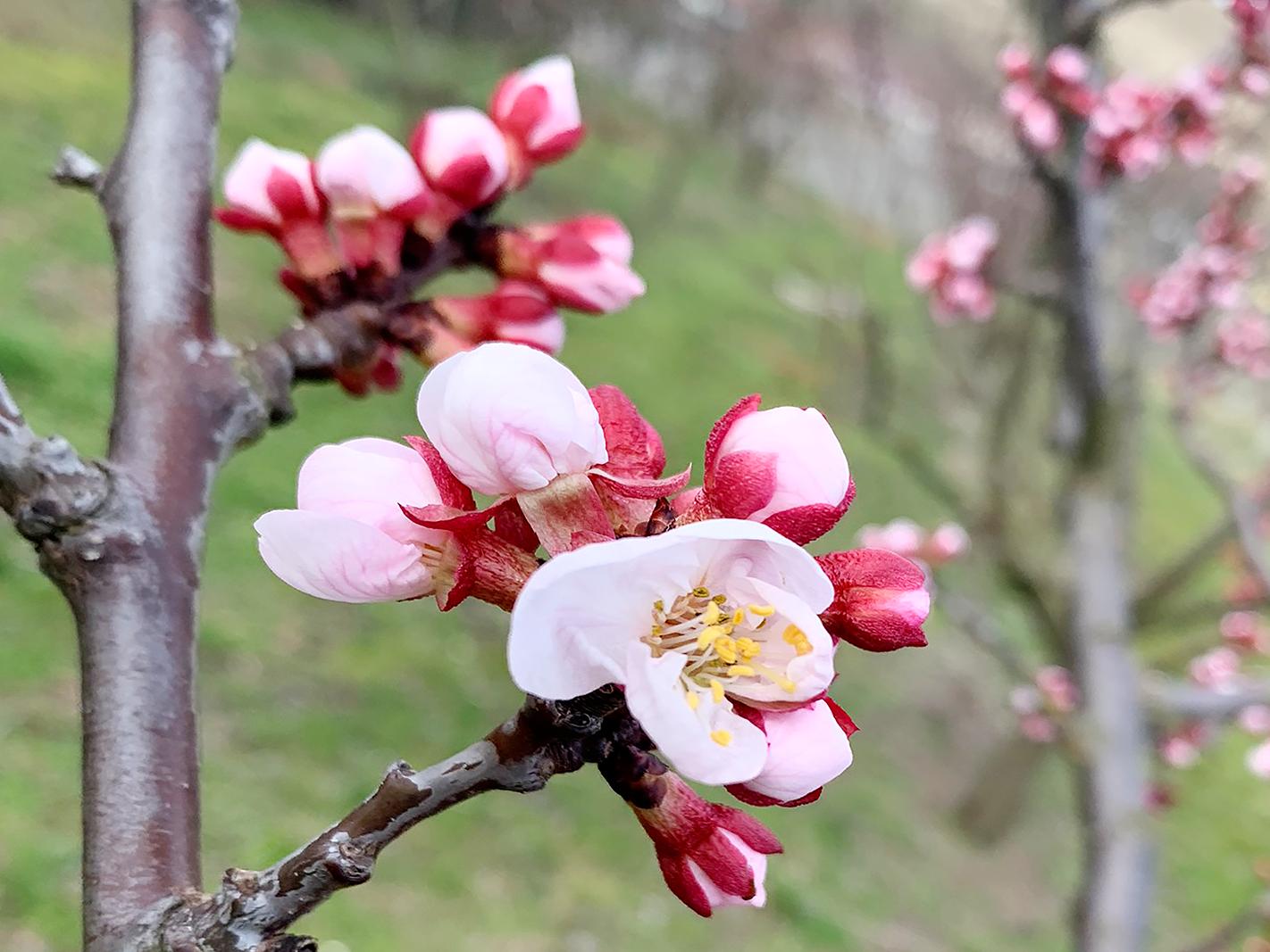 Marillenblüte in der Wachau 2020