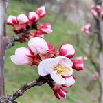 wachau-apricot-blooming-tree-in-march-2020