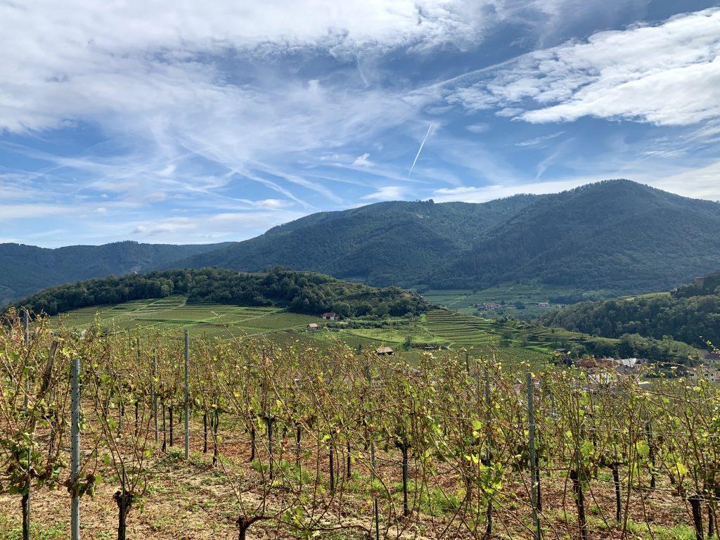 Weingarten in Spitz am Setzberg nach Hagel 2020