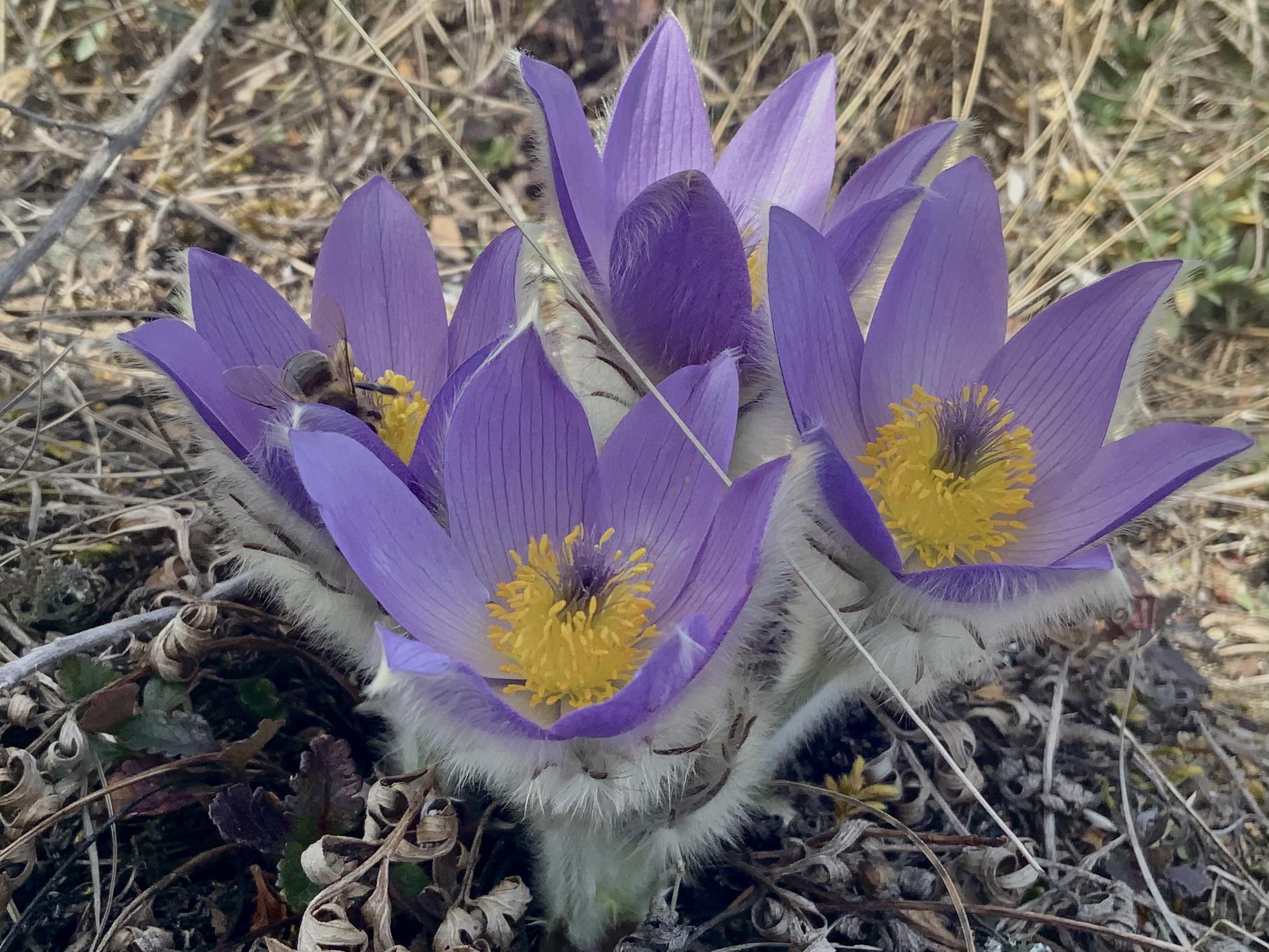 Kuhschelle mit einer Biene in der Blüte