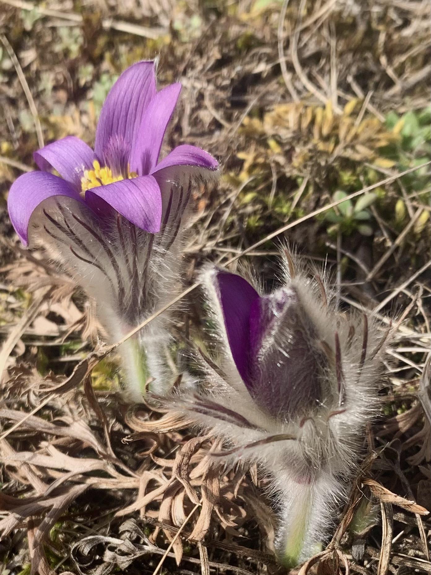 Kuhschelle, Pulsatilla, mit dem behaarten Stengel und Blätter