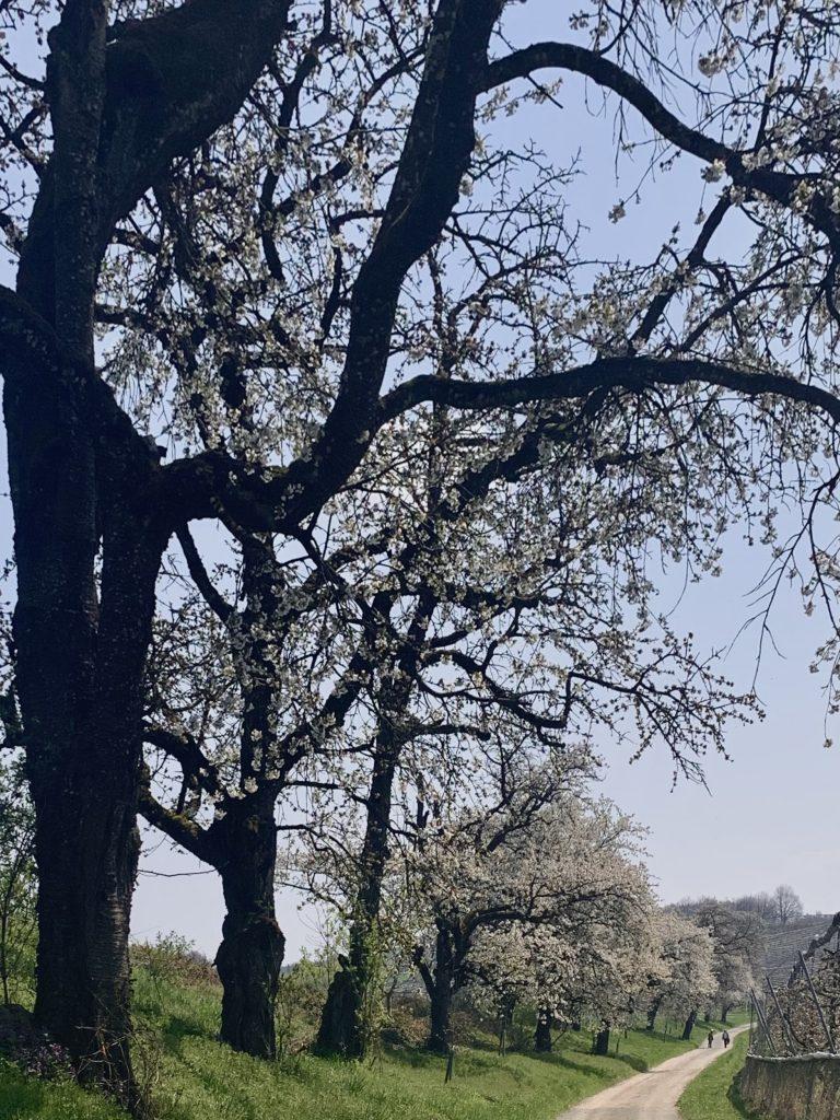 Kirschblütenzeile