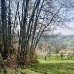 Blühende Kirschbäume auf einer Streuobstwiese