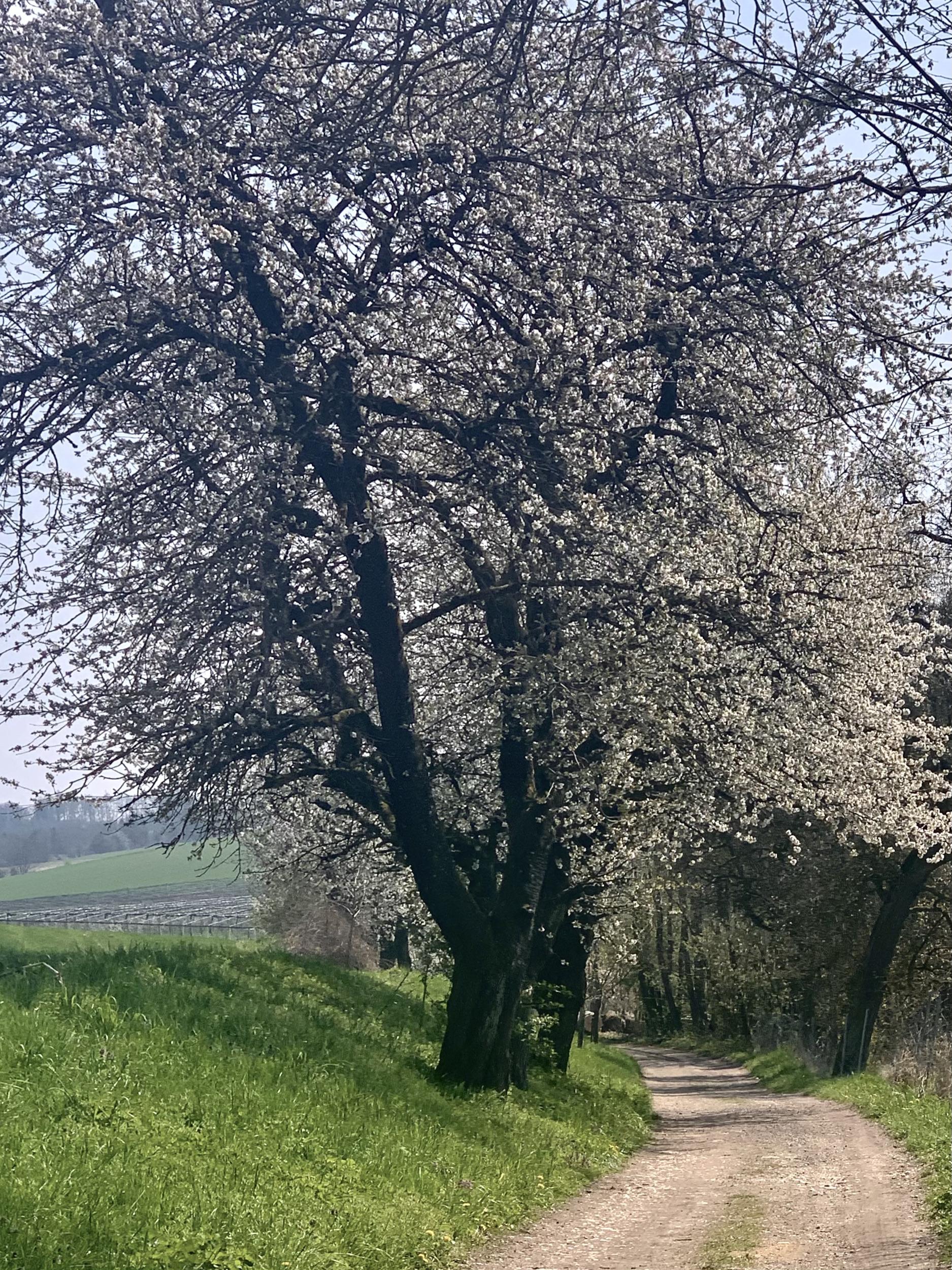 Große alte Kirschbäume am Feldwegrand
