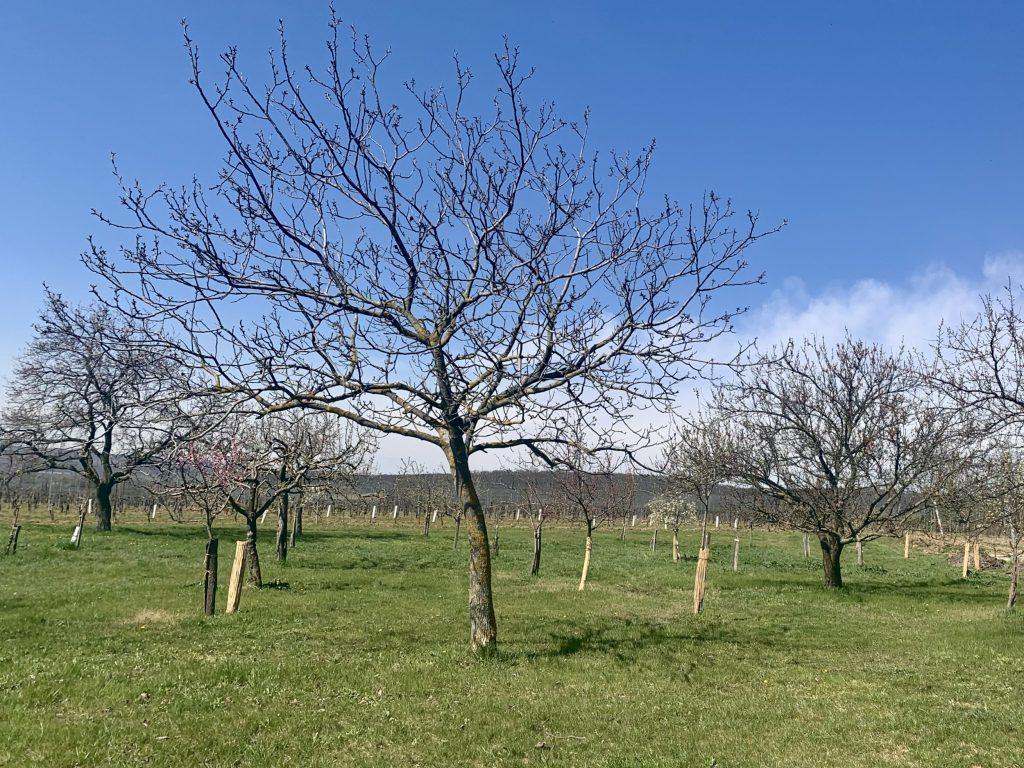 kirschblüte am gritschenberg in jois