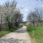 Kirschblüte in Purbach