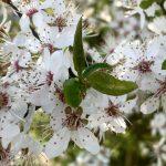 Wilde Kirschblüte in Leppersdorf