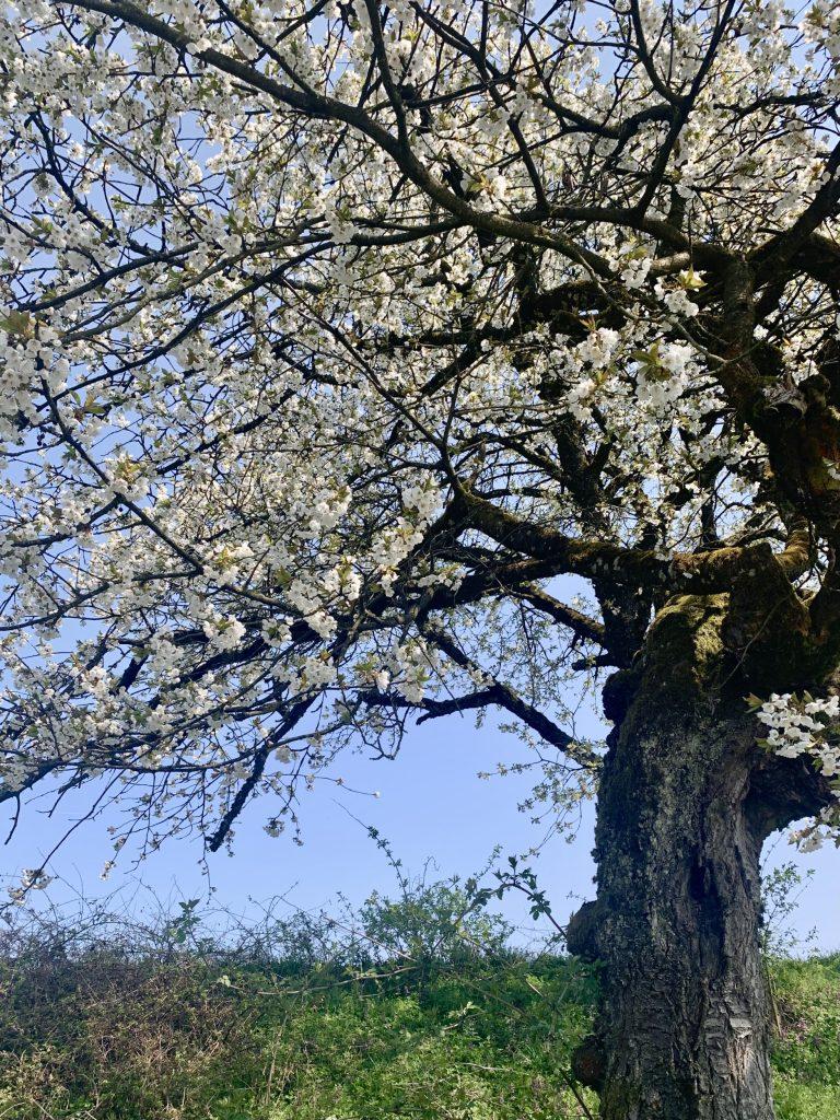 Blühender alter Kirschbaum