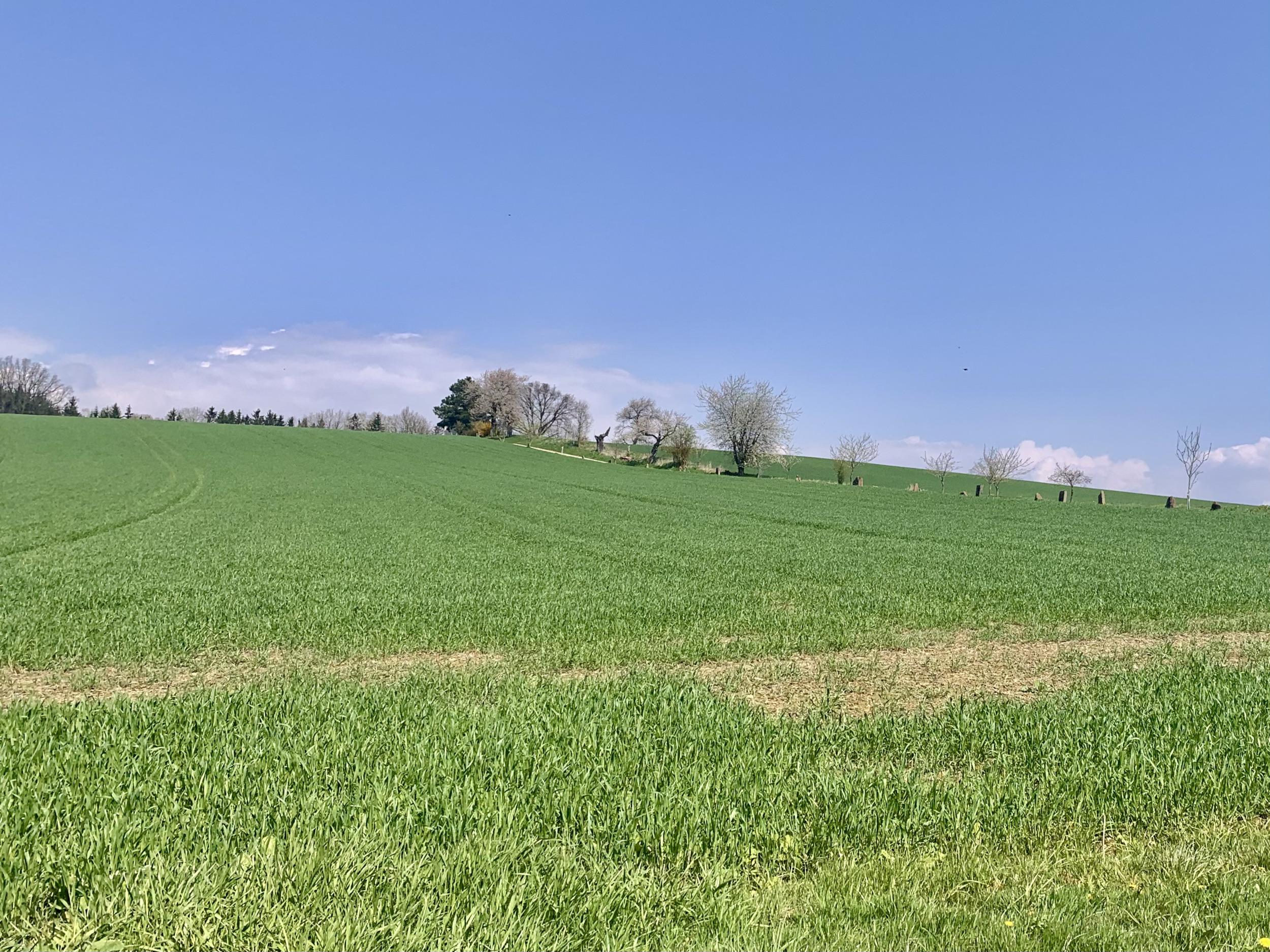 Graswiese mit Kirschbäumen am Feldrand