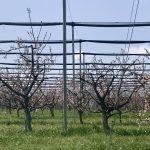 Einnetzung von Kirschenkulturenim Naturpark Obst-Hügel-Land