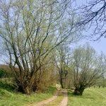 Kopfweiden am Kirschblüten Wanderweg in Scharten