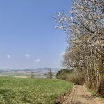 Kirschblüte Scharten