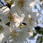 Bestäubung der Kirschblüte