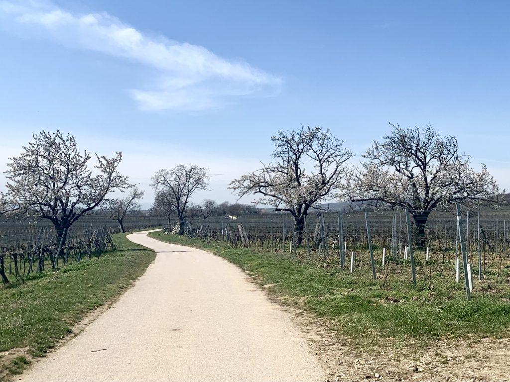 Kirschblüten am Radweg