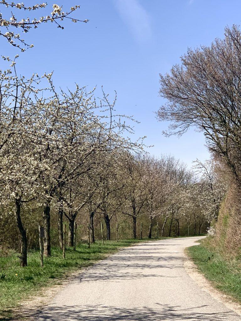 kirschblütenweg in Breitenbrunn am neusiedler see