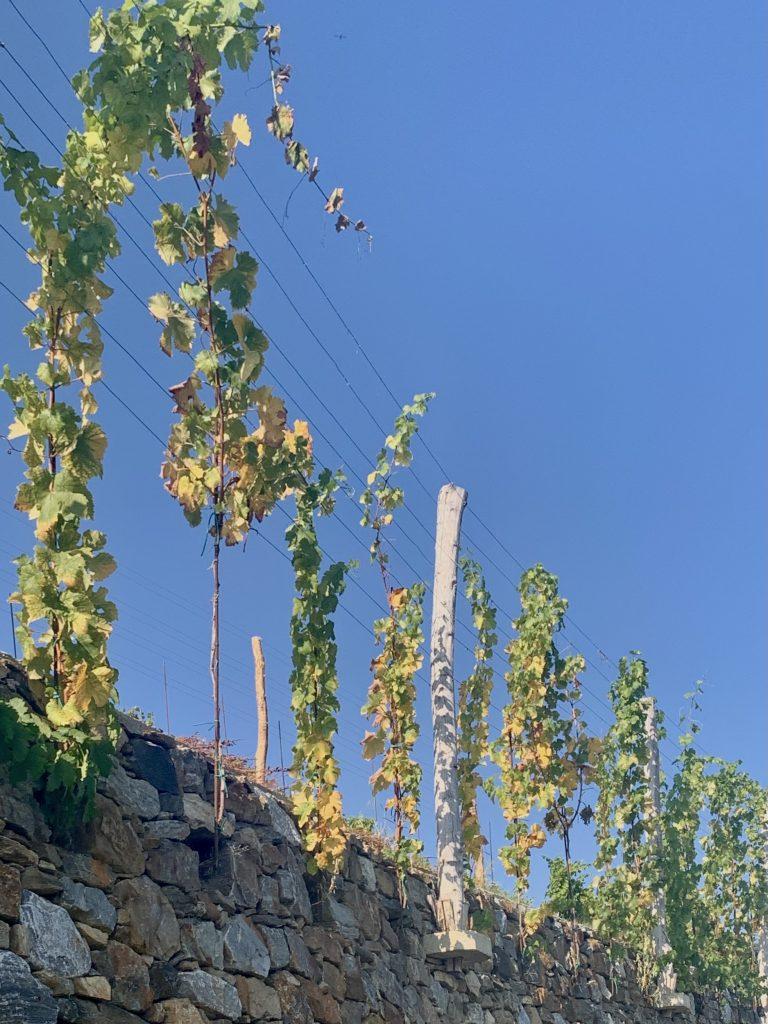 Weinstöcke, die aus einer Steinmauer wachsen