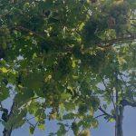 Weintrauben auf der Achleiten in Weißenkirchen