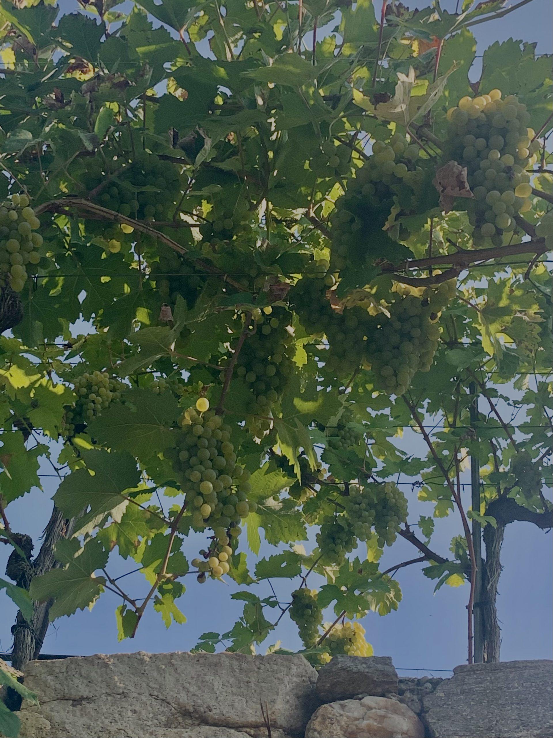Reife Weintrauben auf der Achleiten in Weißenkirchen